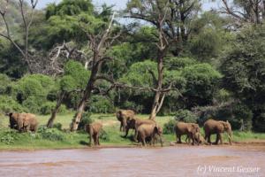 Group of African elephants (Loxodonta africana) looking for a bath, Samburu National Reserve, Kenya