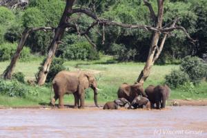 Group of African elephants (Loxodonta africana) with newborns having for a bath, Samburu National Reserve, Kenya