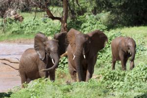 Three young African elephants (Loxodonta africana) walking on the river bank, Samburu National Reserve, Kenya