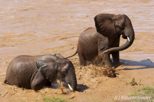 Two young African elephants (Loxodonta africana) walking out of the river, Samburu National Reserve, Kenya