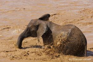 Young African elephant (Loxodonta africana) blowing in the water, Samburu National Reserve, Kenya