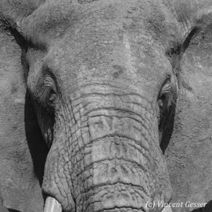 Big African elephant (Loxodonta africana) bull, close up portrait, Black and White, Samburu National Reserve, Kenya, 1