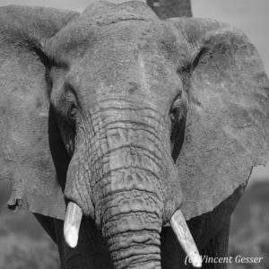 Big African elephant (Loxodonta africana) bull, close up portrait, Black and White, Samburu National Reserve, Kenya, 2