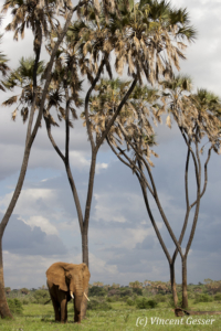 Big African elephant (Loxodonta africana) bull walking under the Doum Palm trees, Samburu National Reserve, Kenya