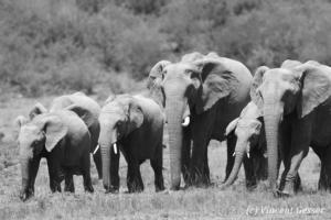 Family of African elephants (Loxodonta africana) walking, Black and White, Masai Mara National Reserve, Kenya