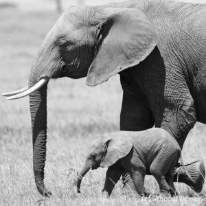 African elephant (Loxodonta africana) cow and calf walking, Black and White, Masai Mara National Reserve, Kenya, 1