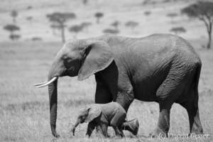 African elephant (Loxodonta africana) cow and calf walking, Black and White, Masai Mara National Reserve, Kenya, 2