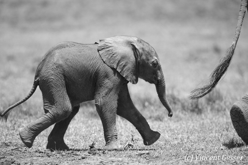 African elephant (Loxodonta africana) newborn folling his mother, Black and White, Masai Mara National Reserve, Kenya, 1