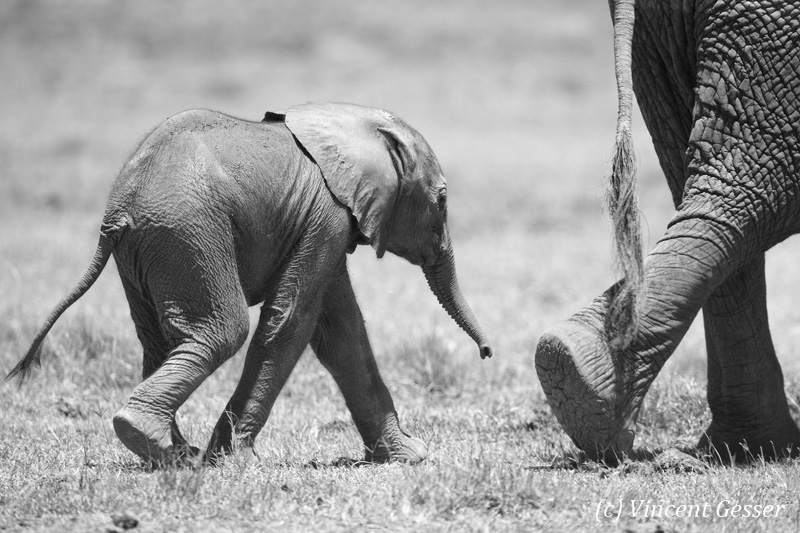African elephant (Loxodonta africana) newborn folling his mother, Black and White, Masai Mara National Reserve, Kenya, 2