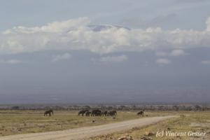 Group of African elephants (Loxodonta africana) walking on the plains of Amboseli National Park, Kenya