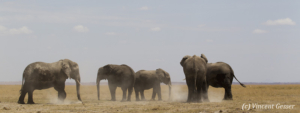 Group of African elephants (Loxodonta africana) standing in the dust of the plains of Amboseli National Park, Kenya