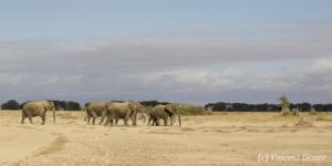 Group of African elephants (Loxodonta africana) walking over the sand of Amboseli National Park, Kenya