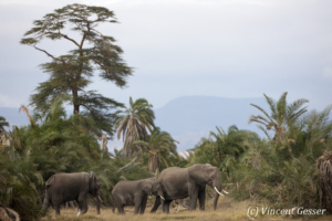 Group of African elephants (Loxodonta africana) walking out of the palm trees, Amboseli National Park, Kenya