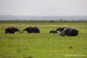 Group of African elephants (Loxodonta africana) in the swamp, Amboseli National Park, Kenya