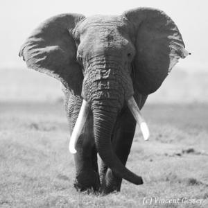Big African elephant (Loxodonta africana) bull walking straight at you, Amboseli National Park, Kenya
