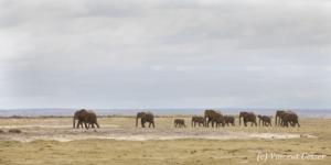 Family of African elephants (Loxodonta africana) walking across the plains of Amboseli National Park, Kenya