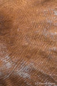Young African elephant (Loxodonta africana) ear skin detail, David Sheldrick Wildlife Trust, Kenya, 1