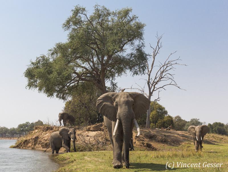 African elephants (Loxodonta africana) walking towards you on shore of Zamberi River, Zimbabwe