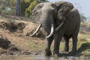 African elephant (Loxodonta africana) spalshing mud on shore of Zamberi River, Zimbabwe