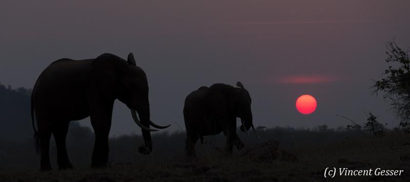 African elephants (Loxodonta africana) walking at sunset on shore of Lake Kariba, Zimbabwe, 1