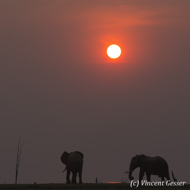 African elephants (Loxodonta africana) walking at sunset on shore of Lake Kariba, Zimbabwe, 2