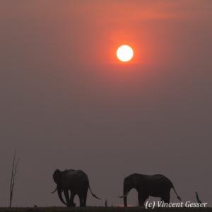African elephants (Loxodonta africana) walking at sunset on shore of Lake Kariba, Zimbabwe, 3
