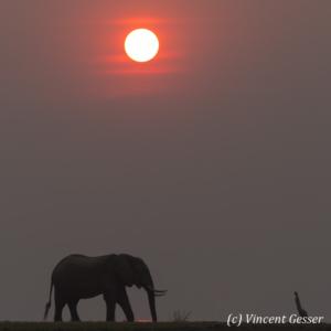 African elephants (Loxodonta africana) walking at sunset on shore of Lake Kariba, Zimbabwe, 4