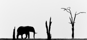 Profile of African elephants (Loxodonta africana) walking on shore of Lake Kariba, Zimbabwe
