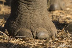 Foot of African elephants (Loxodonta africana) walking in Mana Pools NP, Zimbabwe