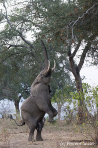 African elephant (Loxodonta africana) on hind legs to catch acacia pods on top of tree, Mana Pools NP, Zimbabwe, 1