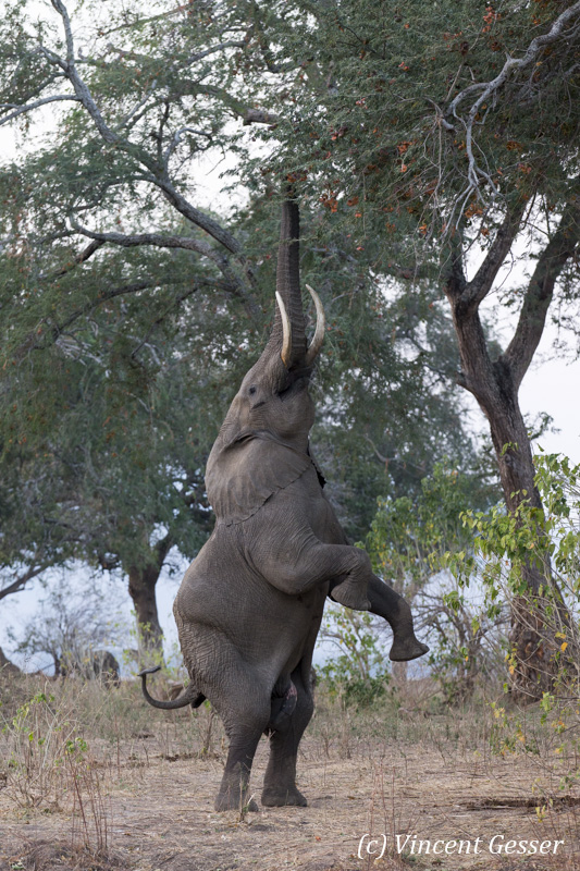 African elephant (Loxodonta africana) on hind legs to catch acacia pods on top of tree, Mana Pools NP, Zimbabwe, 2