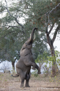 African elephant (Loxodonta africana) on hind legs to catch acacia pods on top of tree, Mana Pools NP, Zimbabwe, 3