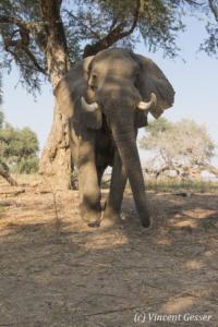African elephant (Loxodonta africana) walking straight at you, Mana Pools NP, Zimbabwe, 1