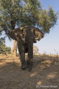 African elephant (Loxodonta africana) walking straight at you, Mana Pools NP, Zimbabwe, 2