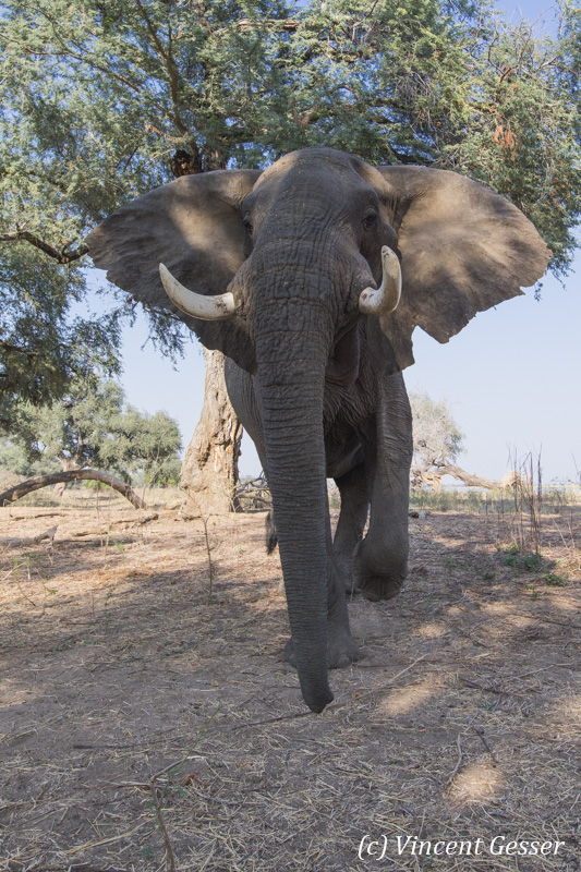 African elephant (Loxodonta africana) walking straight at you, Mana Pools NP, Zimbabwe, 3