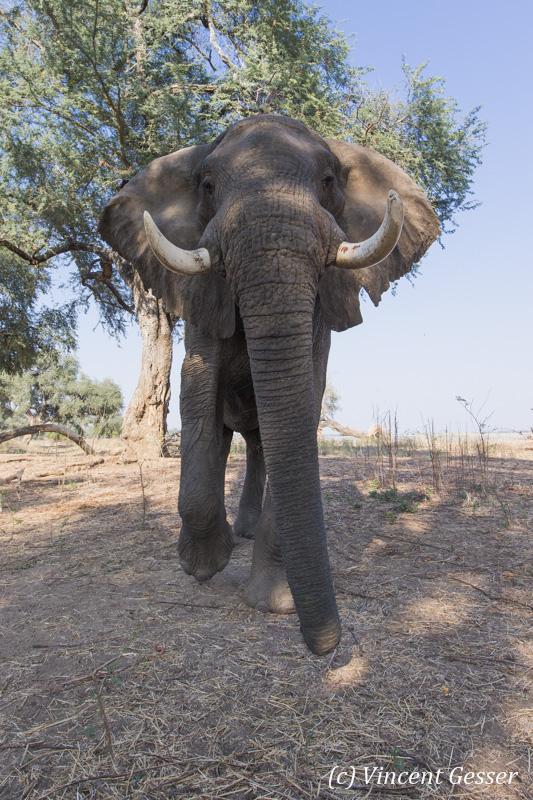 African elephant (Loxodonta africana) walking straight at you, Mana Pools NP, Zimbabwe, 4