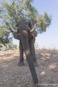 African elephant (Loxodonta africana) walking straight at you, Mana Pools NP, Zimbabwe, 5