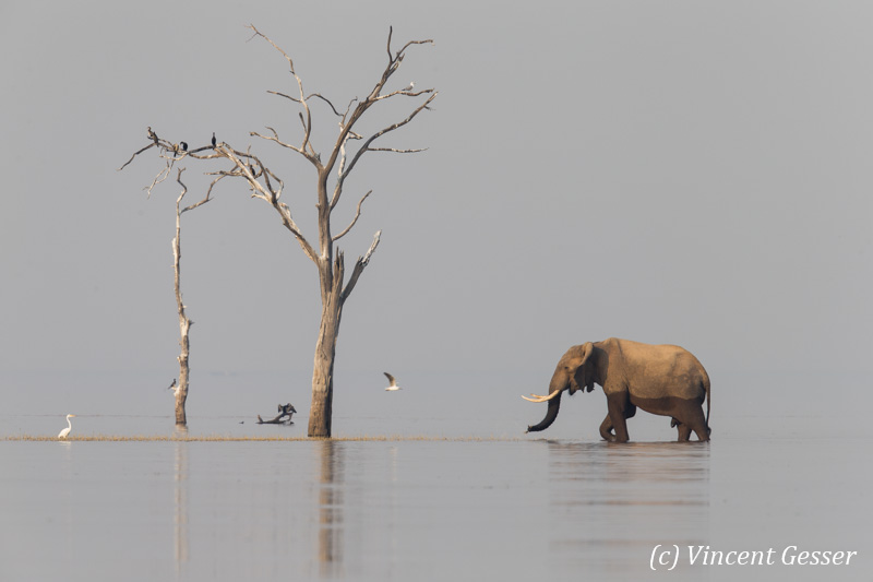 African elephant (Loxodonta africana) crossing between two islands, Lake Kariba, Zimbabwe, 1