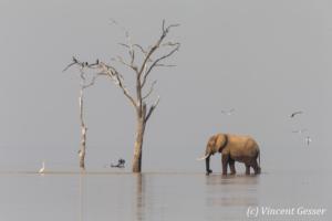 African elephant (Loxodonta africana) crossing between two islands, Lake Kariba, Zimbabwe, 2