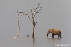 African elephant (Loxodonta africana) crossing between two islands, Lake Kariba, Zimbabwe, 3