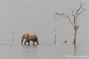 African elephant (Loxodonta africana) crossing between two islands, Lake Kariba, Zimbabwe, 4