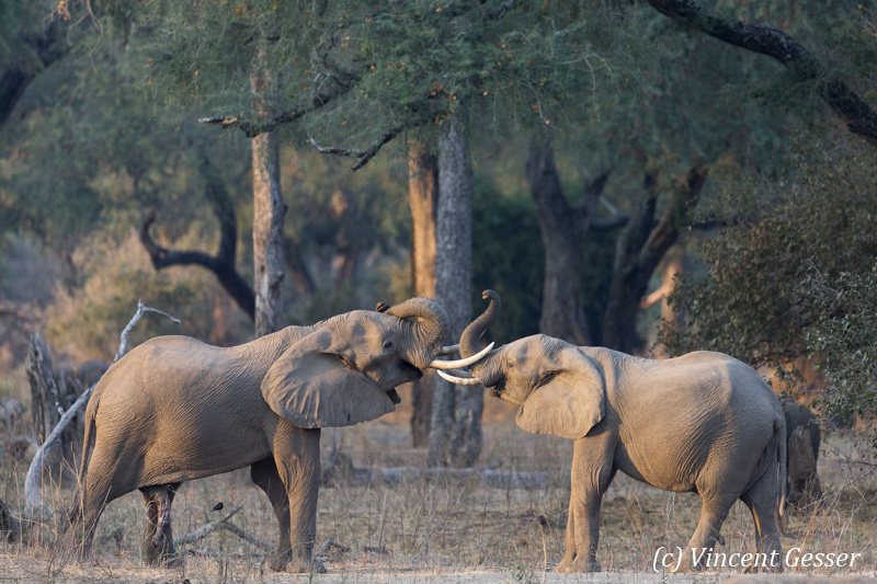 Two young African elephant (Loxodonta africana) facing off in morning light, Mana Pools NP, Zimbabwe, 2