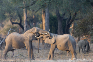 Two young African elephant (Loxodonta africana) facing off in morning light, Mana Pools NP, Zimbabwe, 3