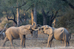 Two young African elephant (Loxodonta africana) facing off in morning light, Mana Pools NP, Zimbabwe, 4