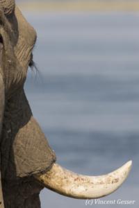 African elephant (Loxodonta africana) in front of Zambezi River, Mana Pools NP, Zimbabwe