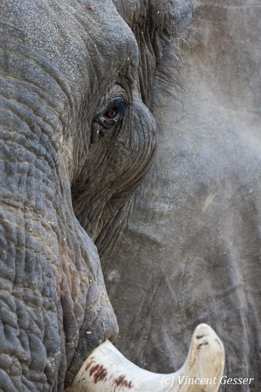 African elephant (Loxodonta africana) portrait, Mana Pools NP, Zimbabwe, 1