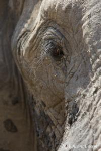 African elephant (Loxodonta africana) portrait, Mana Pools NP, Zimbabwe, 3