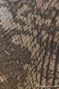 African elephant (Loxodonta africana) skin detail, Mana Pools NP, Zimbabwe