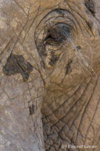 African elephant (Loxodonta africana) portrait, Mana Pools NP, Zimbabwe, 4