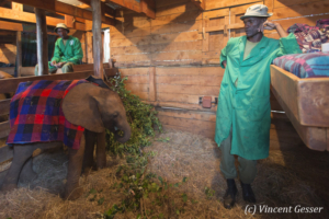 Young orphan African elephant (Loxodonta africana) with his carer, David Sheldrick Wildlife Trust, Kenya